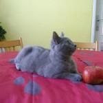 Kocourek Blue Fortune J s jablíčkem - focení je pro něj zjevně denní pohoda...