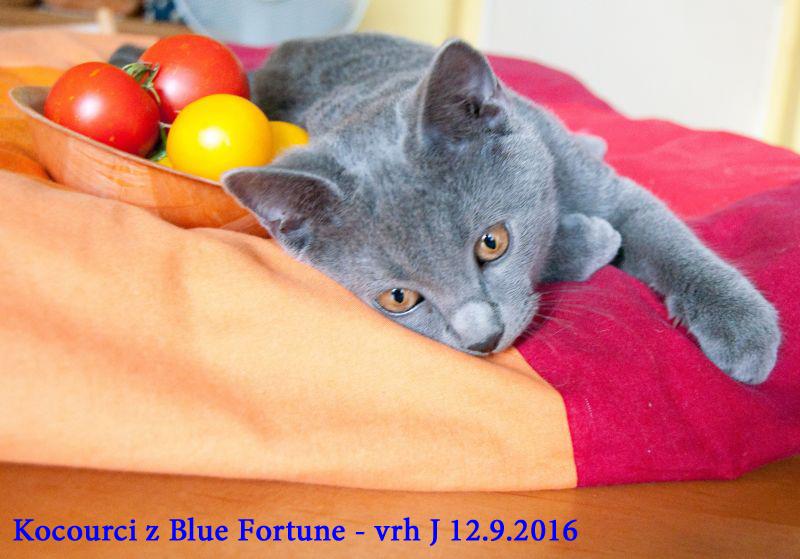 Focení na Blue Fortune 12.9.2016 jeden z našich vymazlených kocourků vrhu J  pózuje u rajčátek.