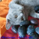Focení na Blue Fortune 12.9.2016 jeden z našich vymazlených kocourků vrhu J  pózuje u švestek.