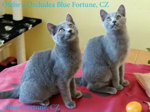 Ofelie a Orchidea Blue Fortune 1 rew