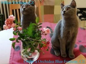 Ofelie a Orchidea Blue Fortune 2 rew